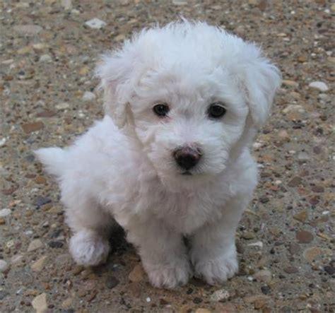 do bichon poodles shed gledwood vol 2 december 2009