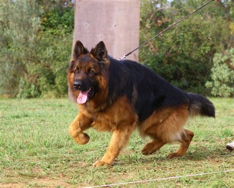 1000 images about berger allemand eros on german shepherds german shepherd dogs