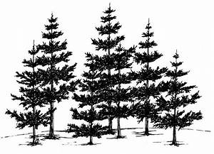 Image Gallery line drawing pine tree