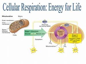 Cellular Respiration Is The Process In Which The Solar Energy Stored In Organic Molecules Like