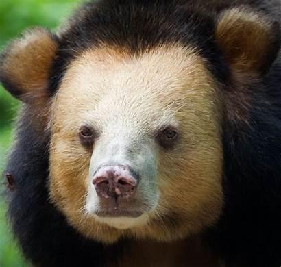 Moon Brandy Bear Bears Cambodia