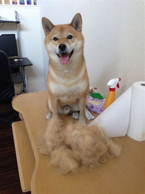 What Dogs Do Not Shed Hair by 25 Best Ideas About Shedding On Cat