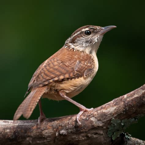 north carolina state bird history and crafts