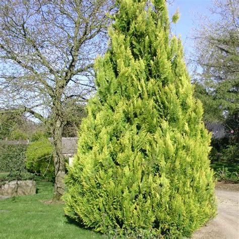 Chamaecyparis Lawsoniana Ivonne by Faux Cypr 232 S De Lawson Ivonne Plantes Et Jardins