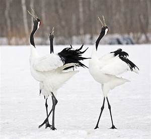 17 Best images about Red Crowned Cranes on Pinterest ...
