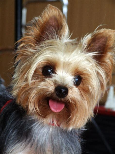 How Much Does A Yorkie And Teacup Yorkies Cost