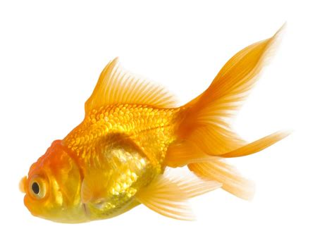 Goldfish Wallpapers 2013 Wallpapers HD Wallpapers Download Free Images Wallpaper [1000image.com]