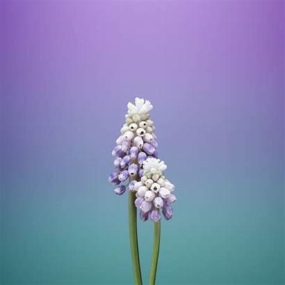 Ios Wallpapers Flower Iphone Muscari Ipad