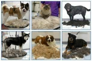 Do Dogs Shed All Year by Shedding 101