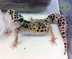 best 25 leopard geckos ideas on baby lizards geckos and happy meme