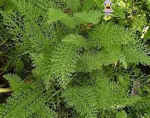 Arbuste Feuillage Persistant Croissance Rapide : mes vivaces inratables feuillage persistant jardin d ~ Premium-room.com Idées de Décoration