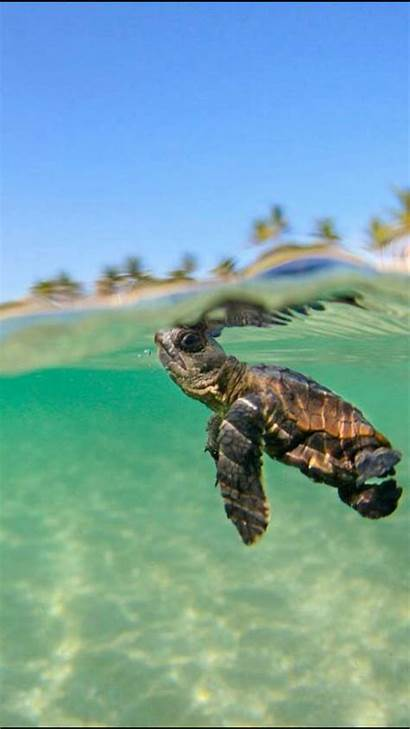Turtle Sea Swimming Keep Getwallpapers