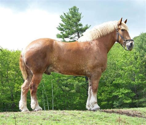 horse horses largest zeus pretty named feet discover belgian draft weigh names cute