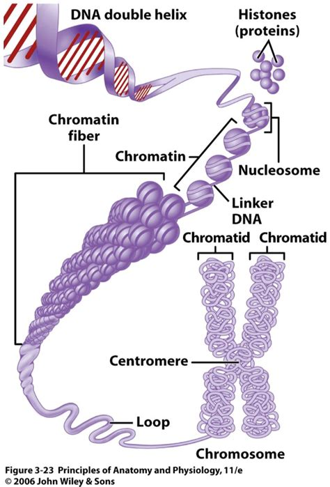 Diagram Of Chromatin by What Are The Differences Between Chromosomes Chromatids