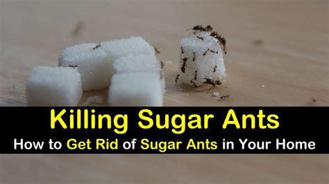 killing sugar ants    rid  sugar ants   home