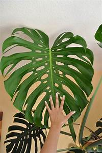 Monstera Deliciosa Ableger : dazu braucht man einen ableger von der monstera und so kann es gehen dr auszeit garden ~ Eleganceandgraceweddings.com Haus und Dekorationen