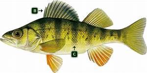Alberta Yellow Perch Information - Alberta Fishing Guide  Perch