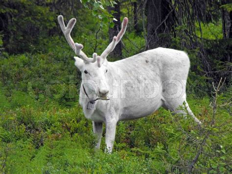 white reindeer  forest stock photo colourbox