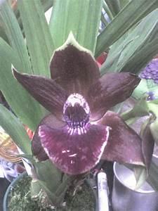 Amo Orquideas  Zygopetalum Paris X  Zygocolax X Zygosepalum Labiosum