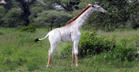 unique pale giraffe   tanzania