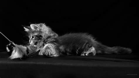noir et blanc images wallpaper desktop chats chatons