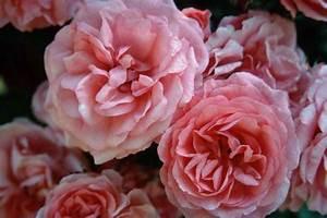 Begleitpflanzen Für Rosen : rosen f r den k bel rosarium uetersen 1 ~ Orissabook.com Haus und Dekorationen