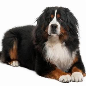 Berner Sennenhund Gewicht : waarom mijn berner sennen pup kopen bij dogcatandco ~ Markanthonyermac.com Haus und Dekorationen