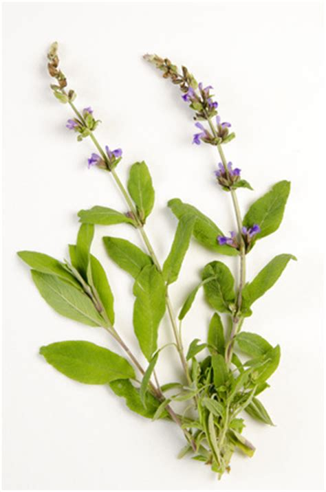 cuisine scientifique sauge salvia officinalis creapharma