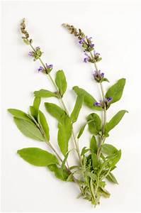 La Sauge Plante : sauge salvia officinalis creapharma ~ Melissatoandfro.com Idées de Décoration