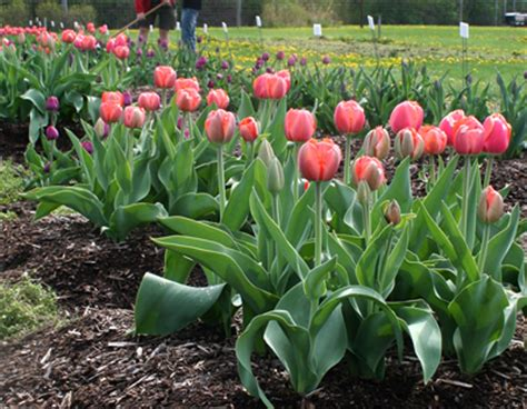 researcher offers toil free tip to plant tulips