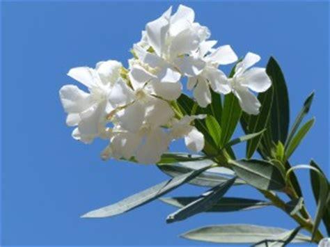 oleander schneiden wann oleander schneiden das ist zu beachten garten mix