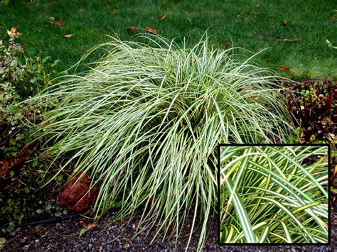 what ornamental grasses are perennials perennial ornamental grasses gardening guide