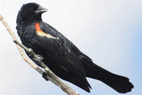 red winged blackbird agelaium phoeniceus