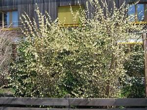 Weiß Blühender Strauch : strauch wei bl hend mit sich abl sender borke baumkunde ~ Lizthompson.info Haus und Dekorationen
