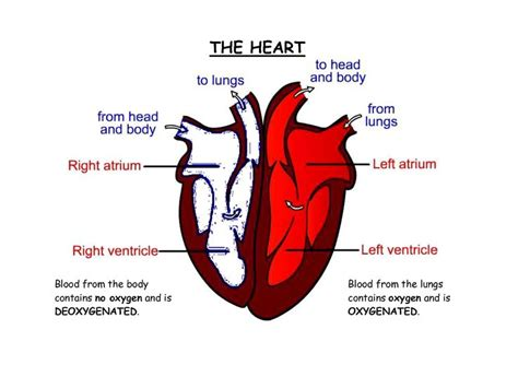heart diagram labeled related pictures human heart