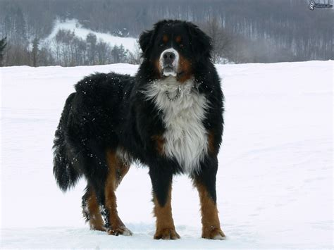 adult bernese mountain dog in the snow wallpapers and images wallpapers pictures photos