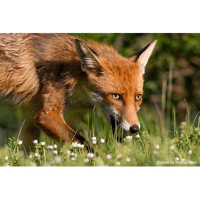 Red Fox Vulpes VulpesDog Breeds Picture