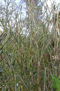 Bambus In Kübeln : bambus im winter bambus wissen ~ Michelbontemps.com Haus und Dekorationen