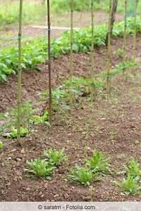 Salat Pflanzen Abstand : rucola salat rauke anbau pflege und ernte ~ Markanthonyermac.com Haus und Dekorationen