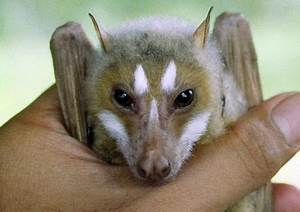 """Photo in the News: """"Nonexistent"""" Flying Fox Discovered"""