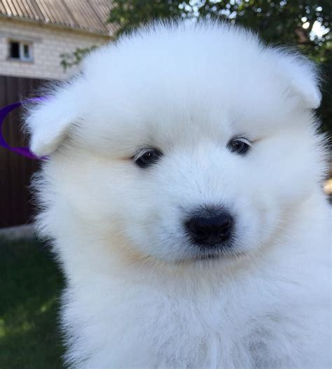 Pin By Nicole On Samoyed Puppies Samoyed Puppies Dogs
