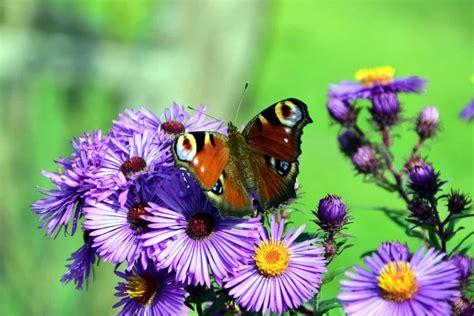 kostenlose bild insekt sommer blume schmetterling flora garten natur makro