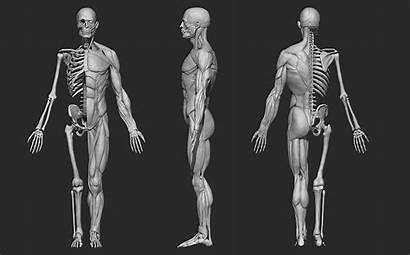 Human Anatomy Male Sculpt Documentation Blender Ratings