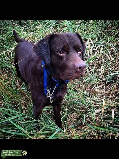 Chocolate Labrador Pedigree Stud Close Dog Breed