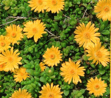 delosperma lineare stauden mittagsblume gelb pflanzen