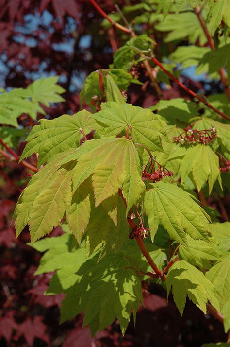 maple vine pacific fire acer circinatum plants mountain plant nursery squak gardenworks seattle washington vancouver wa foliage bc