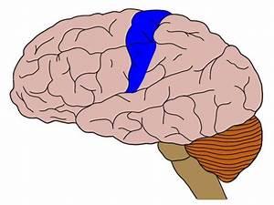 Know Your Brain  Primary Somatosensory Cortex