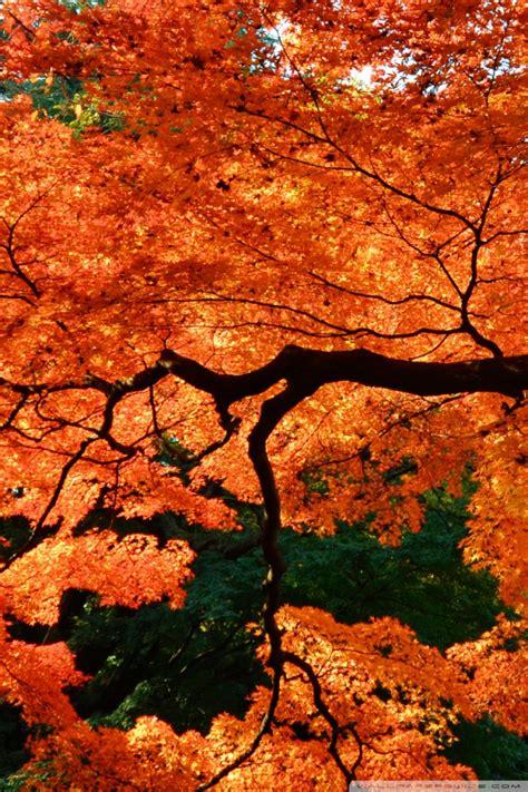 beautiful japanese maple tree  hd desktop wallpaper