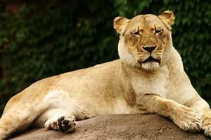 female lion images photos