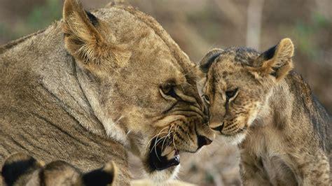 Animal Cubs Wallpapers - animals cubs wallpaper 1920x1080 wallpoper 409664